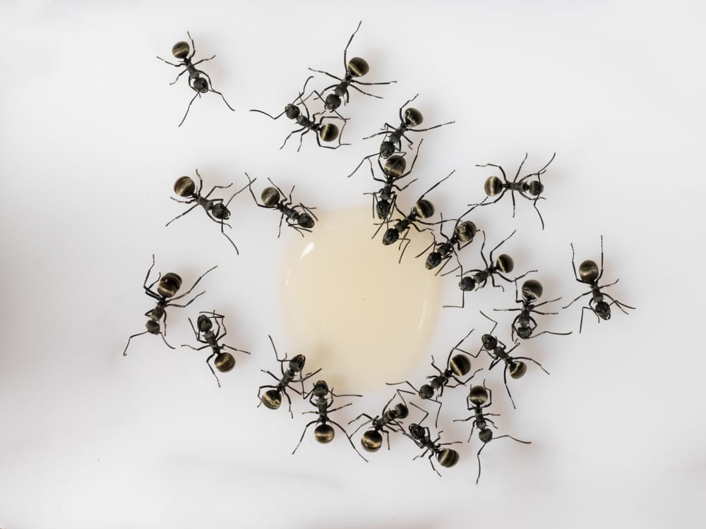 8 Ways To Get Rid Of Ants Naturally From Your Home Listaka