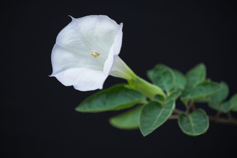 deadliest flowers