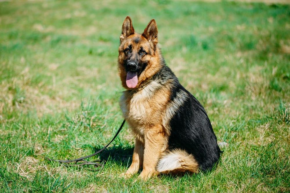 Dangerous Dog Breeds