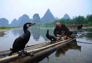 cormorant-fishing