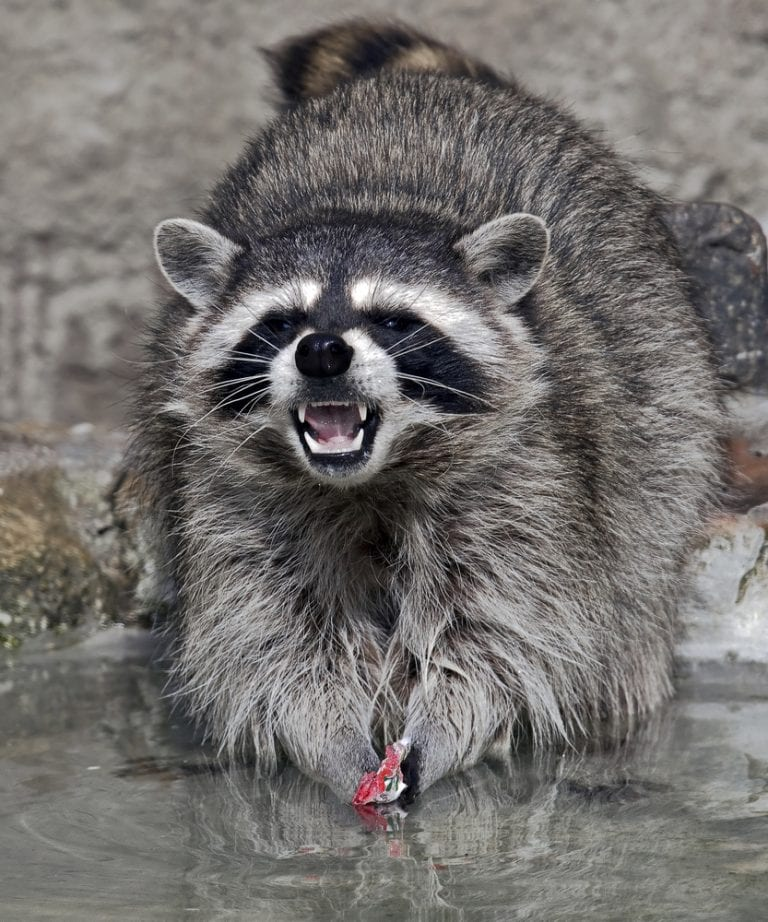 Trash Pandas Are The Cutest Animal Ever