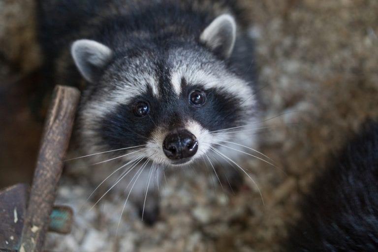 Trash Pandas Are The Cutest Animal Ever