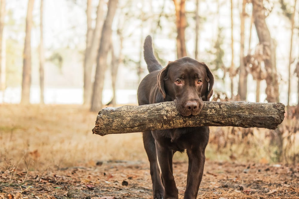 Most Athletic Dog Breeds