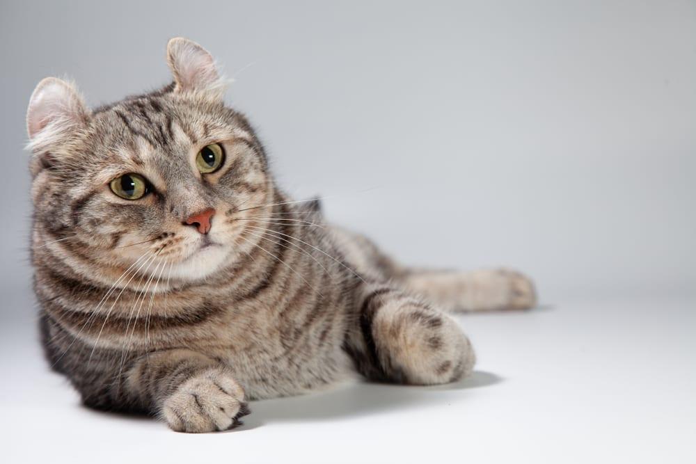 Bizarre Cat Breeds - American Curl