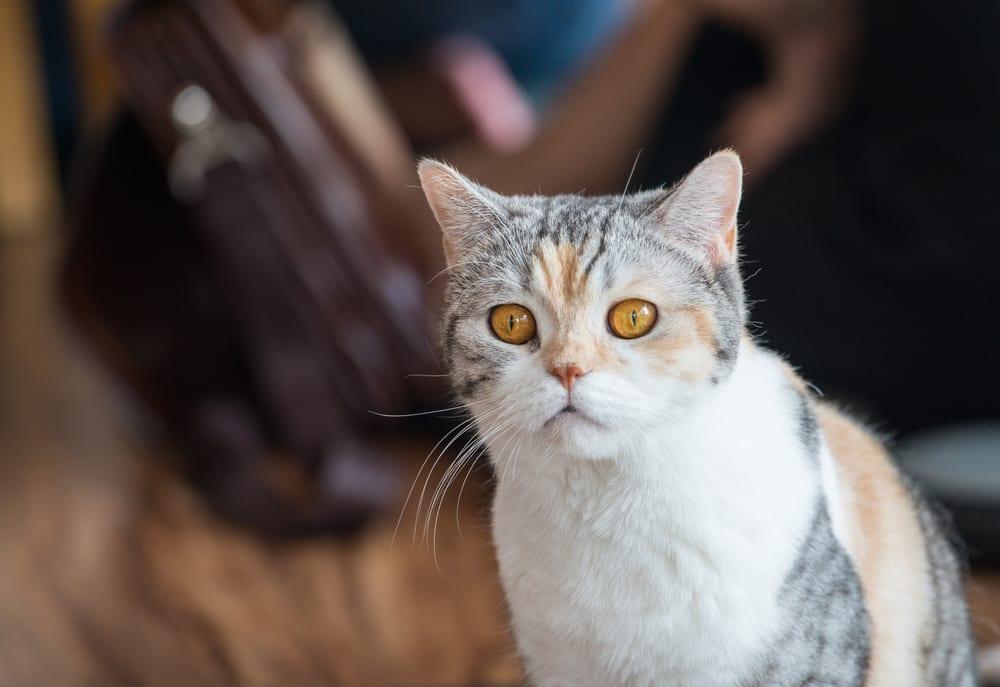 Bizarre Cat Breeds - American Wirehair