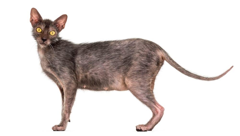 Bizarre Cat Breeds - Lykoi
