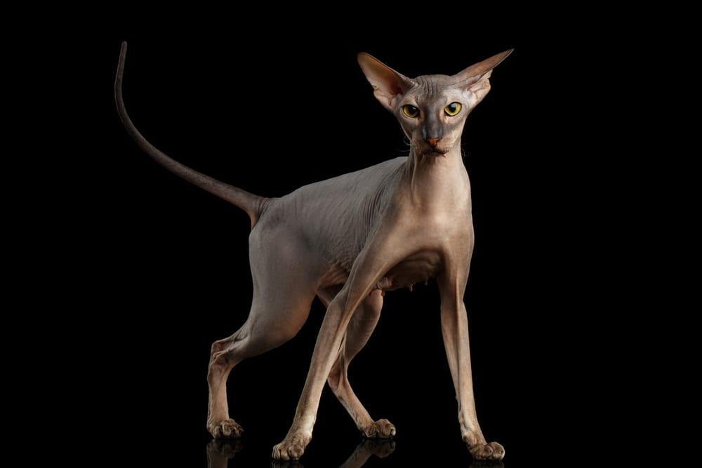 Bizarre Cat Breeds - Peterbald