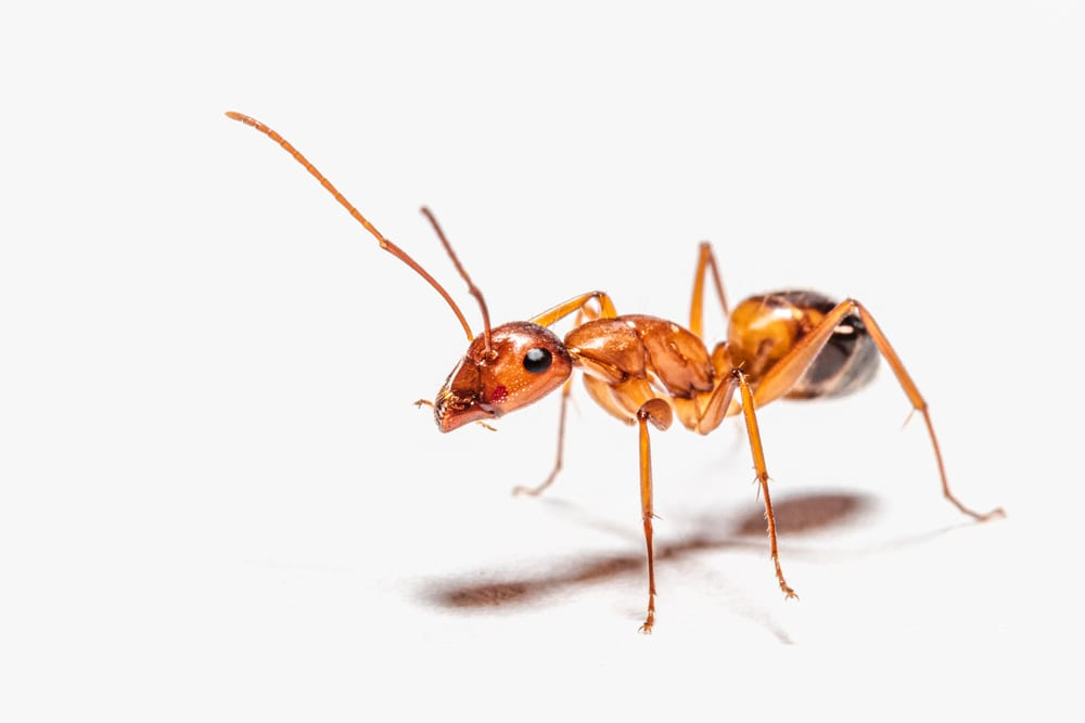 Facts About Ants - Already exist even during the era of dinosaurs