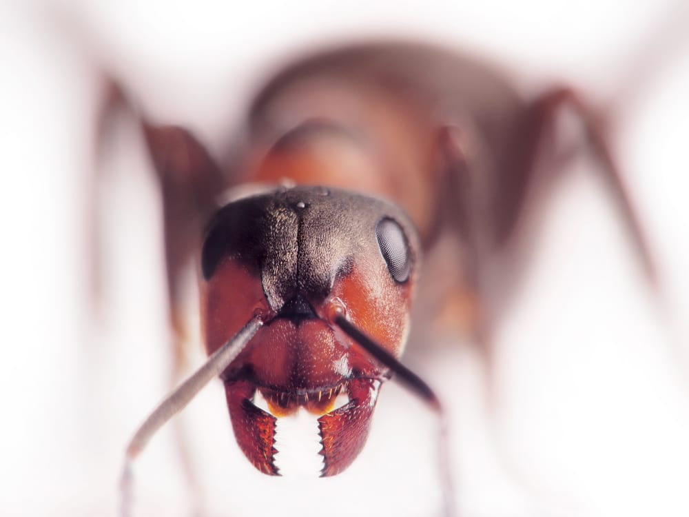 Facts About Ants - Dont have ears