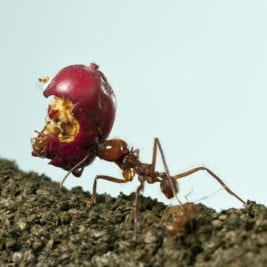Facts About Ants - Extraordinary strength