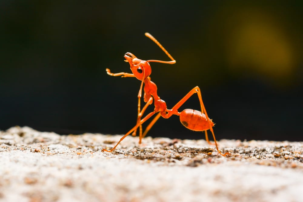 Facts About Ants - Asexual