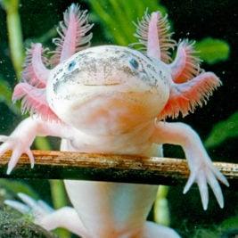 Creatures That Can Regrow Body Parts - Axolotl