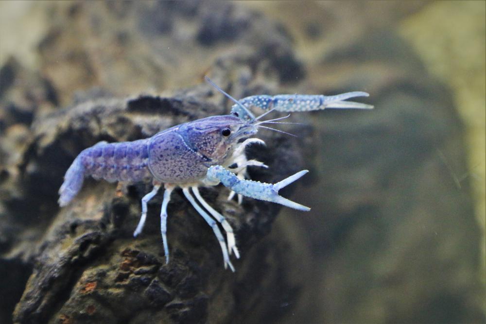 Creatures That Can Regrow Body Parts - Crayfish